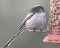 Long Tailed Tit on the peanut feeder