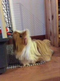 Thor the Guinea pig