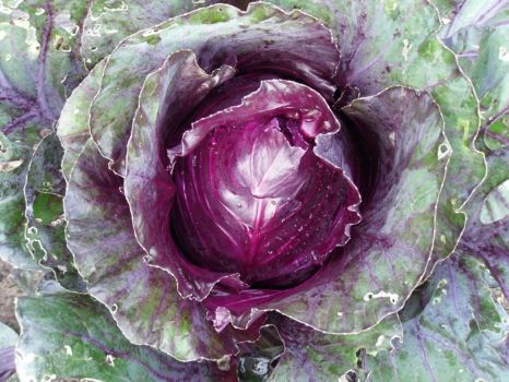 rode kool  - red cabbage