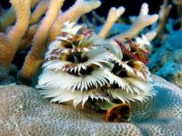Chrictmas Tree Worm, Fiji