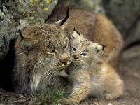 baby-lynx