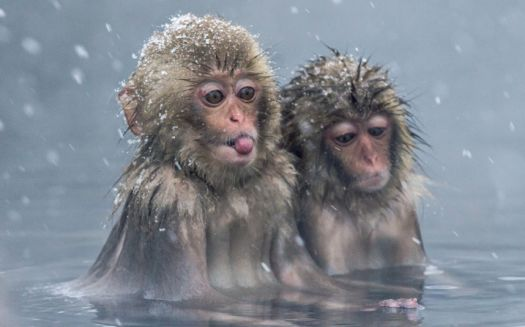Japanese Macaques in hot water