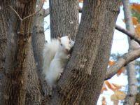Albino Squirrel in Tree