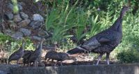 Wild turkey mom and kids
