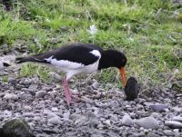 Oystercatcher with freshwater oyster