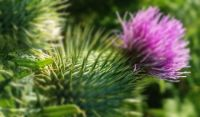 """Close Up of a """"Thistle"""" at, Ashdown Forest. England."""