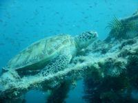 Turtle at Kapalai