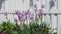 005My Iris's