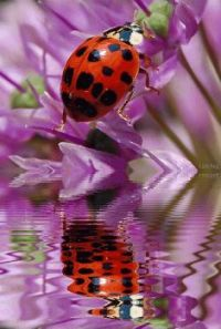 Ladybug and purple flower
