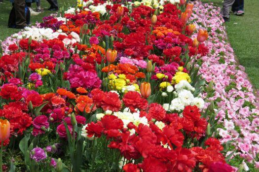 Ranunculas, Tulips and Petunias...