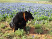 Charlie and Bluebonnets