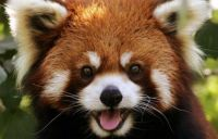 Red Panda (happy)