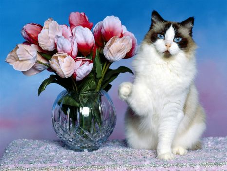 Chat et bouquet de tulipes
