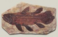 THEME: Prehistoric Animals - The Coelacanth - Fossils were all we used to know about them.