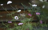 A Goldfinch couple in our cosmea