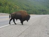 Bison on Alaskan Highway