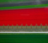 Tulip Fields in Noordoostpolder, Netherlands