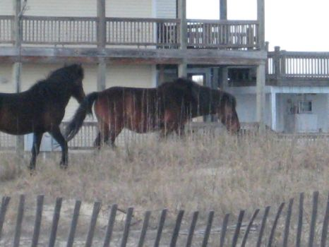 Wild horses among the beach homes.