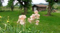 My Peach Iris