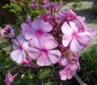My other Phlox in the back garden.