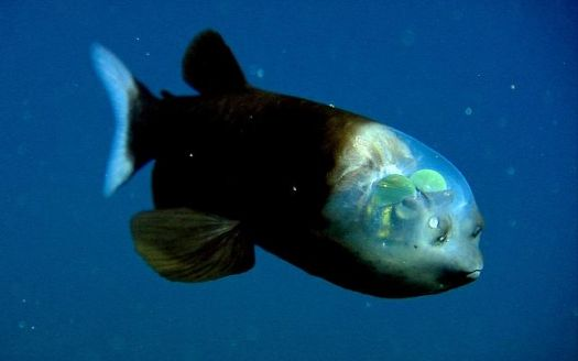 pacific barreleye fish