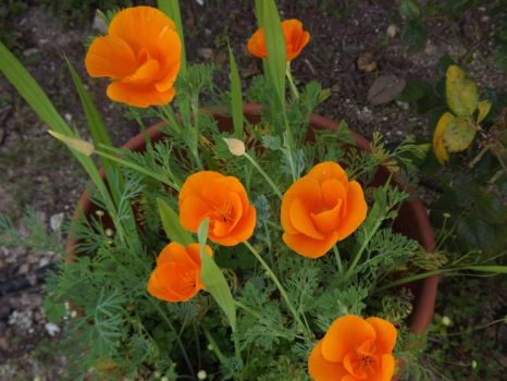 More poppies . . . . . .