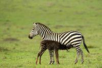 newborn-zebra-rare-polka-dots-kenya