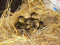 The ducklings are there !
