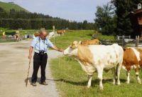 koeien in Oostenrijk