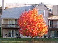 Sugar Maple in Michigan