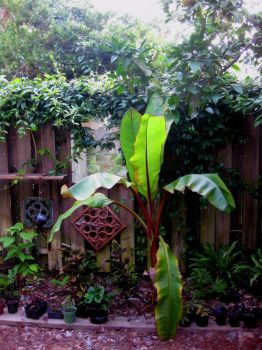 jungle banana tree