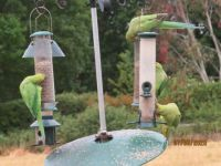 And now there are four Rose-ringed Parakeets on the feeders