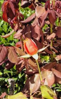 Rose Bud on New Growth