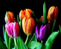 flowers_tulips_bouquet_cut_flowers_colorful_color_plant_violet-940768