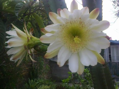 Rose's cactus flower