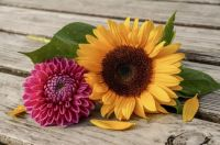 sunflower & dahlia