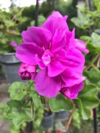 Pelargonium (Geranium)