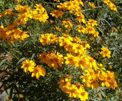 Passionfruit-scented marigolds