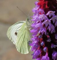 cabbage white on Vial's primrose (witje op orchideeprimula)