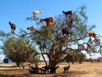 Yes, Goats in a Tree!  True.  Not photoshopped!  Story is below!