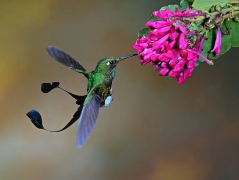 Humming Bird from South America - photo by Sam Woods