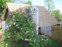 English roses bloom near the McLean family's ice house, Appomattox Courthouse, Virginia