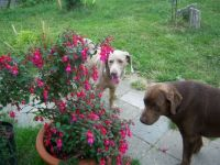 Fuchsia and dogs