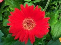 Brilliant Red Flower