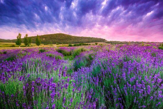 Lavender flowers sunrise
