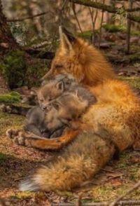 Máma liška_Mom fox