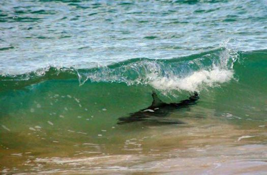 Shark in Wave copy_edited-1