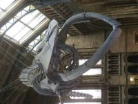 whale skeleton nat hist museum