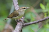 Swainson's Warbler by Greg Lavaty