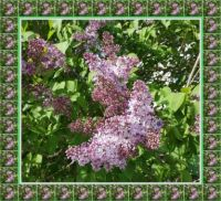 11.5.2021 - Serík / Lilac